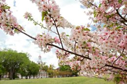 Law School Campus with Cherry Blossoms